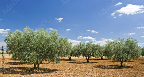 Tuinposter Olijfboom Olive tree, Evergreen tree. Provence. France.