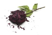Dry Broken Rose