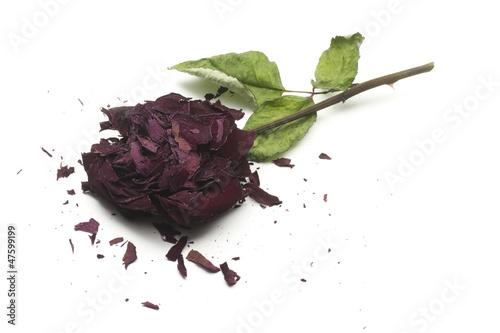 Valokuva  dry broken rose