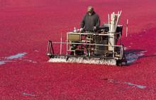Fruit Harvest In Cranberry Bog...