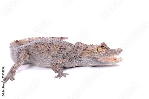 Autocollant pour porte Crocodile Alligator isolated over white background