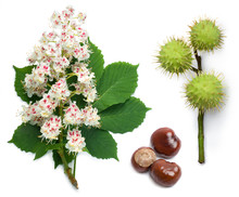 Horse-chestnut Flowers, Leaf And Seeds