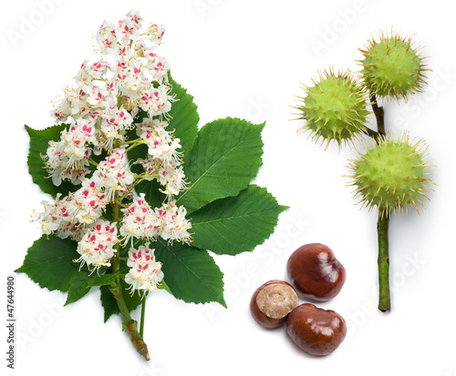 Photo Horse-chestnut flowers, leaf and seeds
