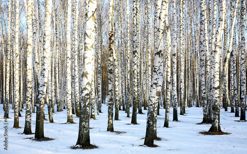 Foto op Canvas Berkbosje Sunny snow birch grove in december