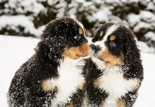 Bernese Mountain Dog Puppets S...