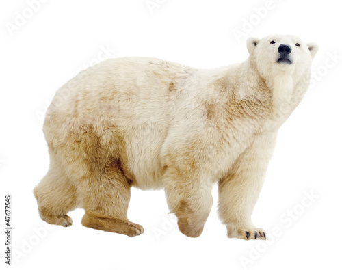 In de dag Ijsbeer polar bear. Isolated over white