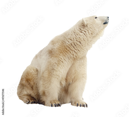 Recess Fitting Polar bear polar bear. Isolated over white