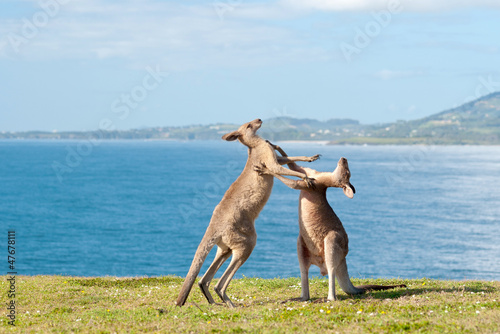 Photo sur Toile Kangaroo Boxing Kangaroos - Australia