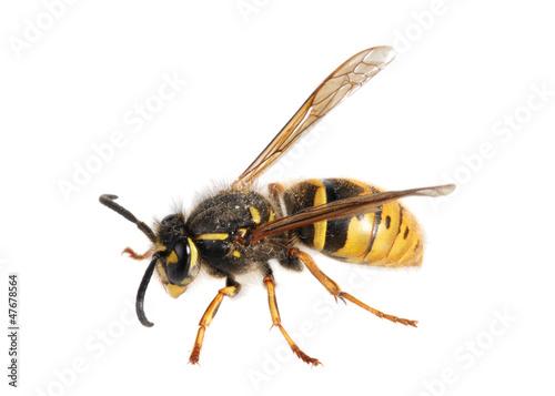 Valokuvatapetti Wasp. (Paravespula germanica)