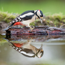 Great Spotted Woodpecker On A Bark In A Pond With A Reflection