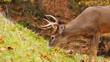 Mature Whitetail Deer Feeding