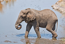Elephant Splashing In Mud