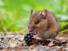 Wild Field Mouse Eating Blackb...