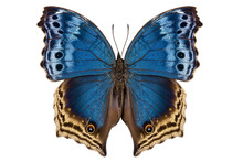 """Butterfly Species Salamis Temora """"Mother-of-Pearls Butterfly"""""""