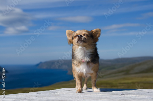 Valokuva  Chihuahua breathing fresh air against Scandinavian landscape
