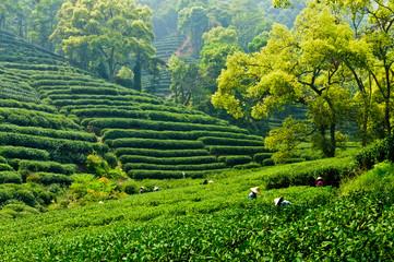 Panel Szklany Podświetlane Do herbaciarni Hangzhou tea garden