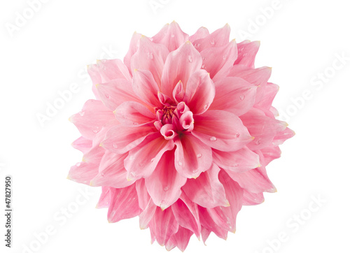 Deurstickers Dahlia pink of a dahlia isolated