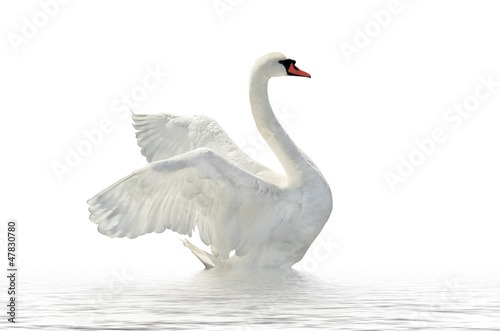 Cadres-photo bureau Cygne White swan.
