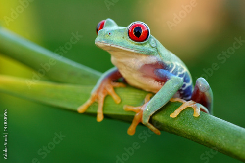 Photo sur Toile Grenouille Red-eyed treefrog (Agalychnis callidryas)