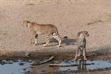 Serengeti Cheetahs