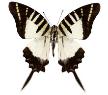 Butterfly Species Graphium Dec...