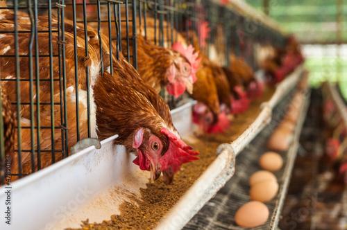 Keuken foto achterwand Kip Chicken farm.
