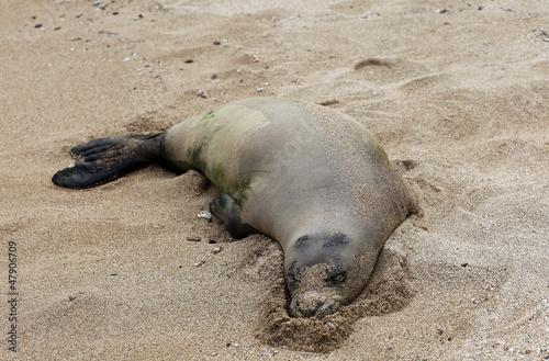 Plakat Monk Seal, Hawaii