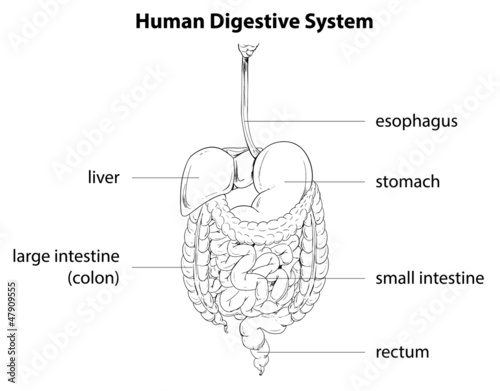 Human Digestive System Buy This Stock Vector And Explore
