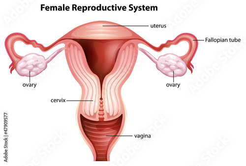 Photo  Female reproductive system