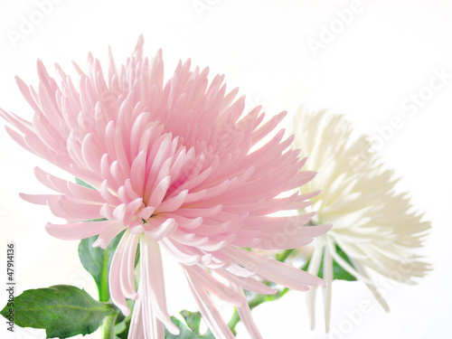 Canvas Print Pink and white Chrysanthemum