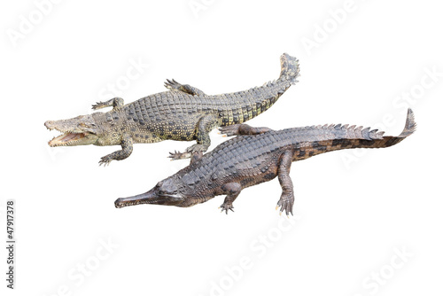 Foto op Canvas Krokodil Crocodile and gavial friend on white background.