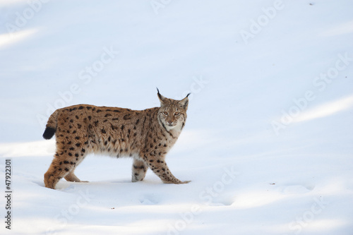 Foto auf Leinwand Luchs An isolated Lynx in the snow background while looking at you