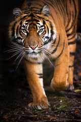 Tiger Walking out of Shadow