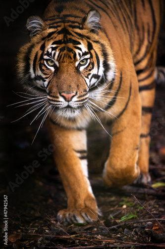 Foto op Canvas Tijger Tiger Walking out of Shadow