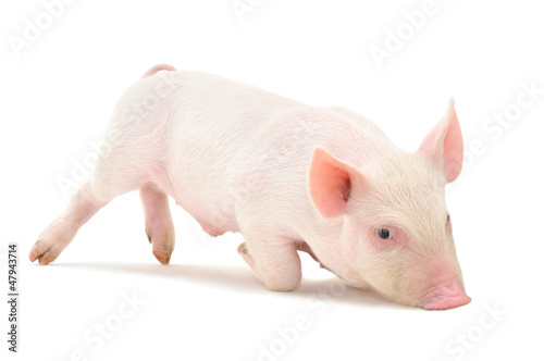 Fotografia  Pig on white