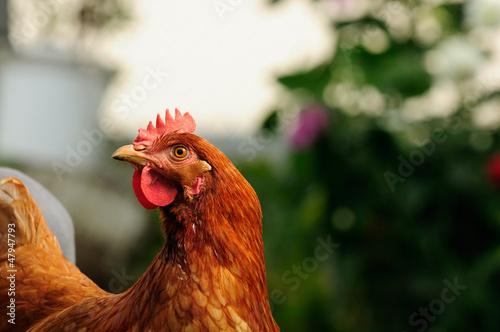 Red Chicken in the Garden Canvas Print