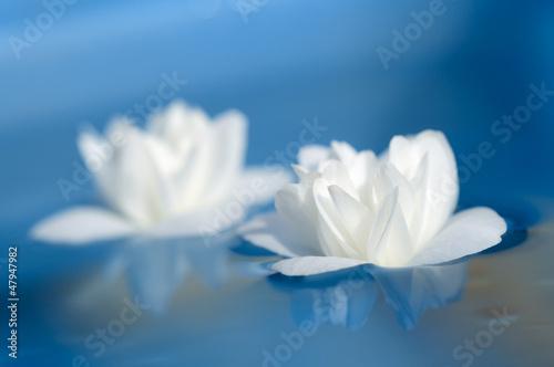 Beautiful White Jasmine Flowers Floating on Blue Water