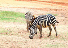 Two Small Zebra Eating  Grass