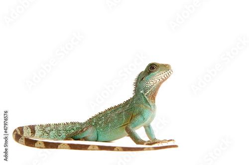 Wasseragame Leguan Eidechse Lizzard Reptil фототапет
