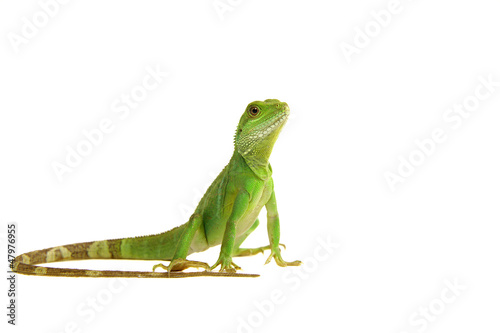 Fototapeta premium Water Dragon, Lizard, Lizzard