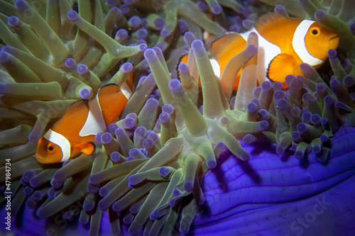Poster Under water A clown fish family close up portrait