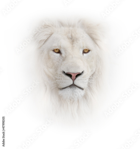 Fotobehang Leeuw white lion on the white background