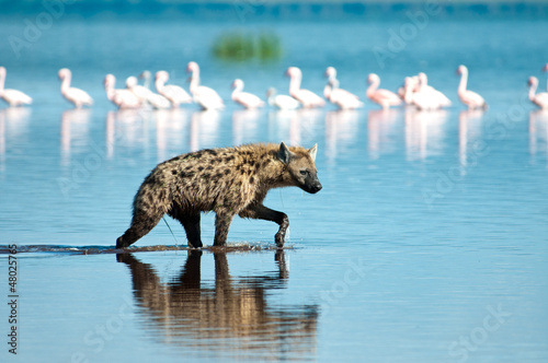 Tuinposter Hyena Wading Hyena in search of Flamingo prey