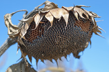 The Sunflower Droop