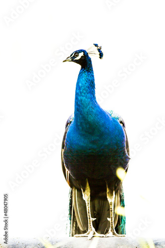 Foto op Aluminium Pauw blue peacock in nightsafari chiangmai Thailand
