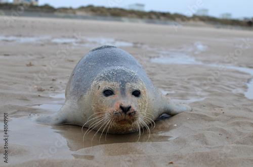 Fototapeta premium poque sur la plage de sangatte