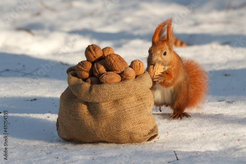 Photo sur Toile Squirrel Squirrel gnaws a nut