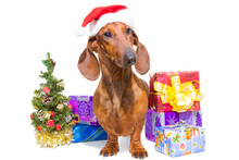 Red Dachshund With Near Christmas Tree On Isolated White