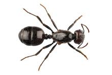 Black Garden Ant Species Lasiu...