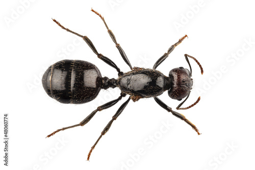 Photo Black garden ant species Lasius niger